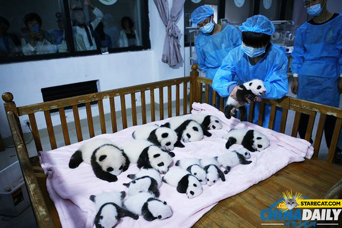14 tiny pandas born in China