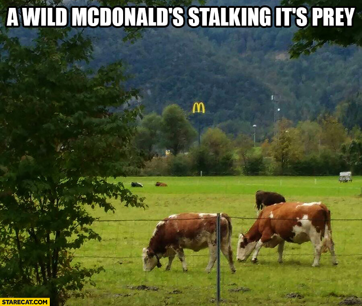 A wild McDonald's stalking it's prey cows
