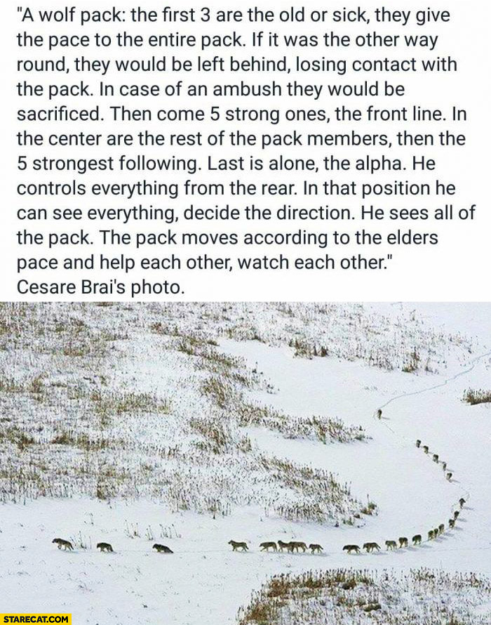 A wolf pack explained: first 3 are old or sick, last is alone, the alpha