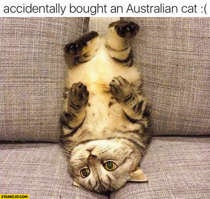 Accidentally bought an Australian cat laying upside down