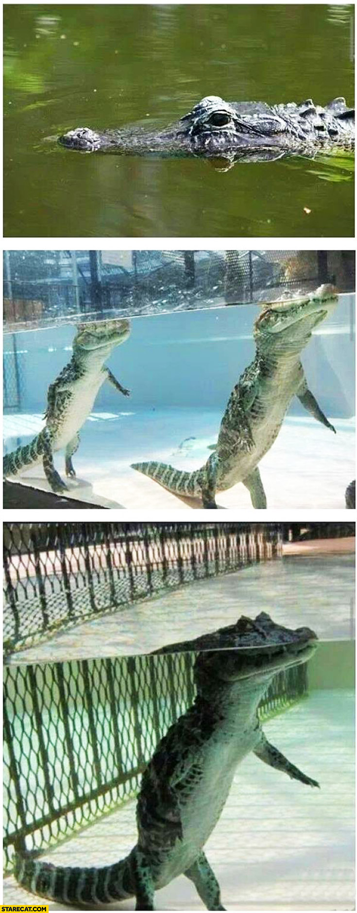 Alligators aren't really floating they are walking on the bottom