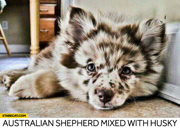 Australian shepherd mixed with husky