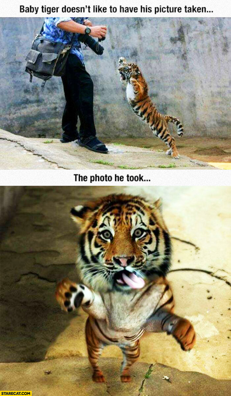Baby tiger doesn't like his picture taken the photo he took cute sweet