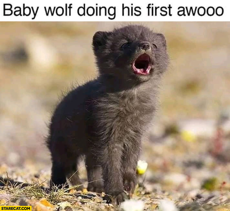 Baby wolf doing his first awooo