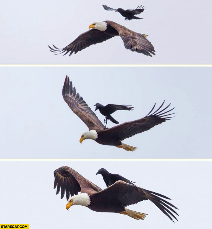 Bird lands on an eagle while in the air