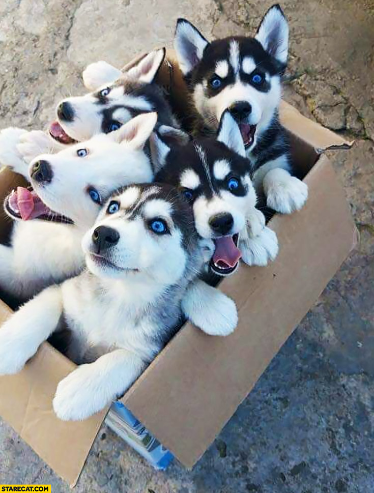 Box full of cute husky puppies