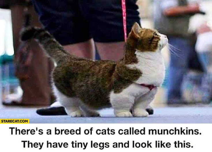 Breed of cats called munchkins tiny legs