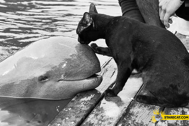 Cat kissing a dolphin