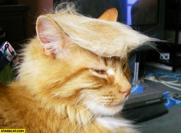 Cat looking like Donald Trump hair