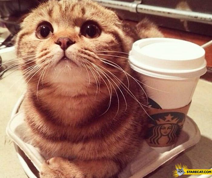 cat starbucks starecat