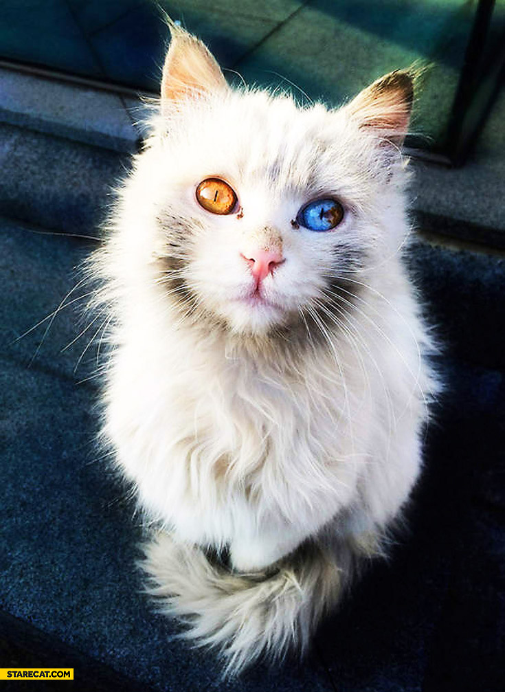 Cat with two different eyes