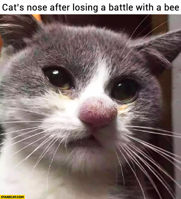 Cat's nose after losing a battle with a bee cute