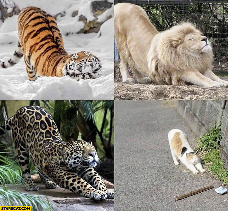 Cats stretching: tiger, lion, cheetah, cat