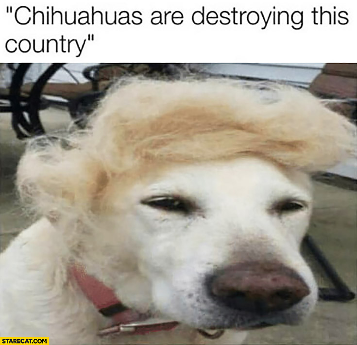 Chihuahuas are destroying this country, dog with hair like Donald Trump