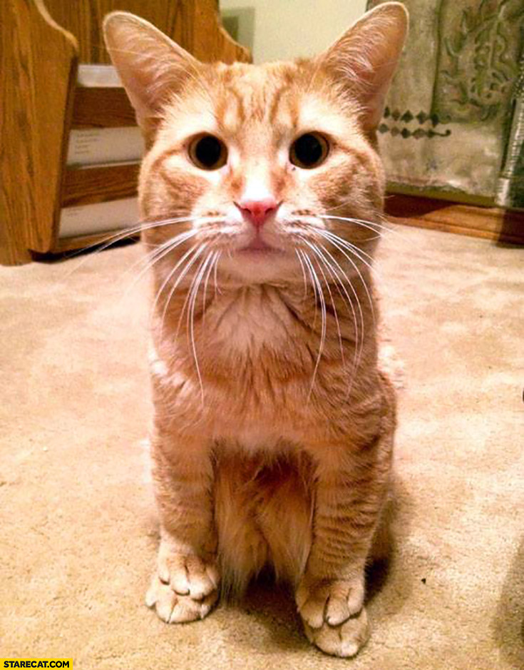 Cute cat that likes to sit on his paws