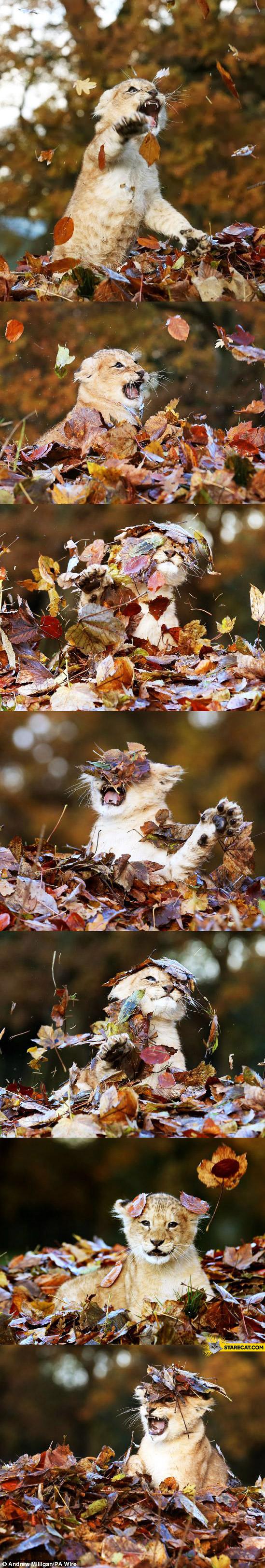 Cute dangerous tiger