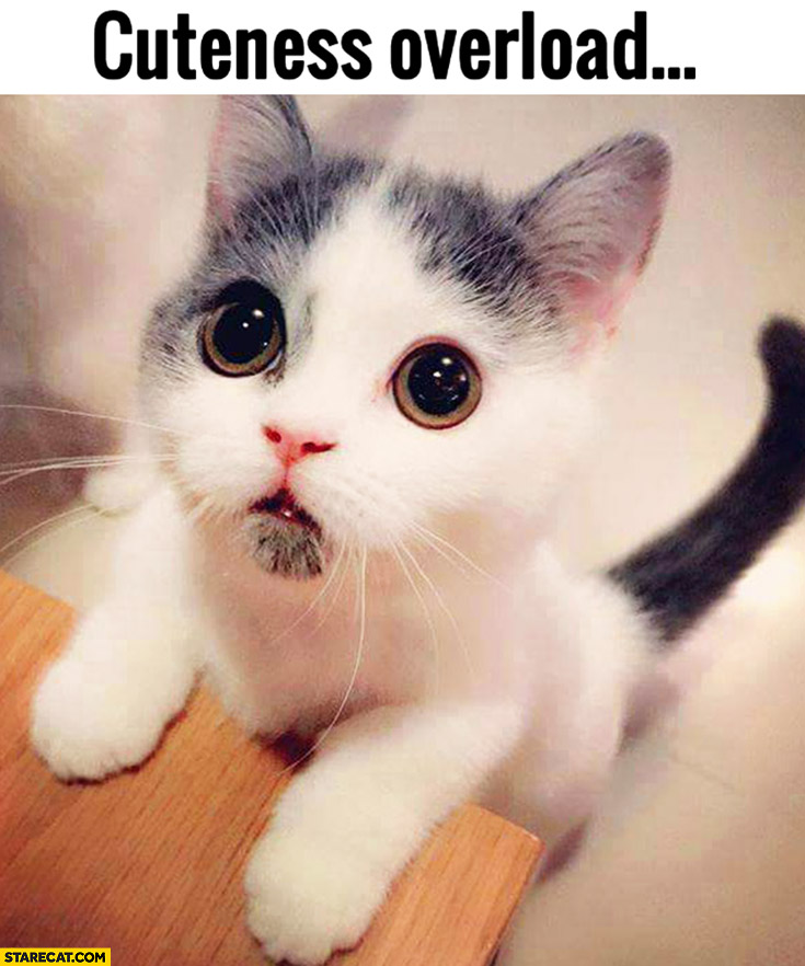 Cuteness overload cute kitty