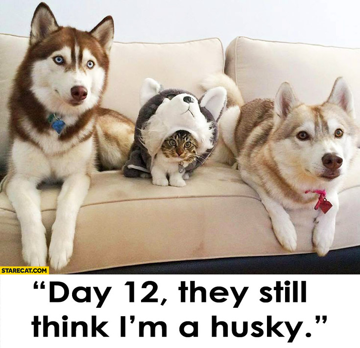 Day 12: they still think I'm a husky cat in disguise