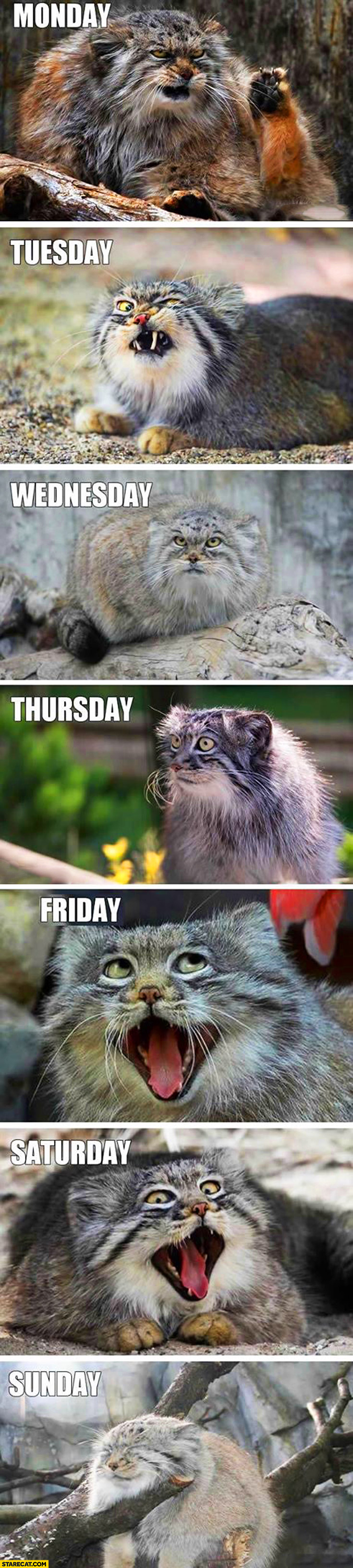 Days of the week cat