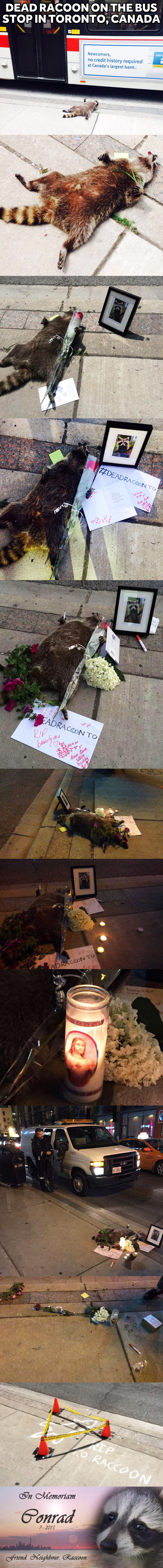 Dead racoon on the bus stop in Toronto, Canada story trolling