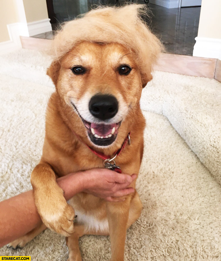 Dog looking like Donald Trump hair