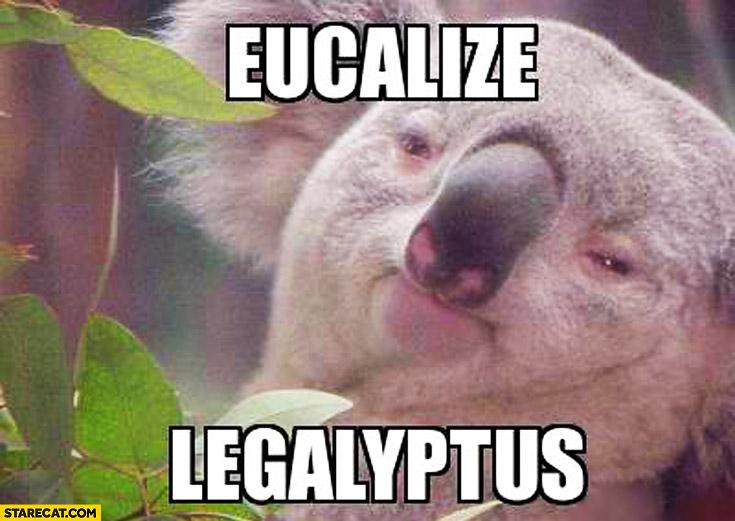 Eucalize Legalyptus high koala bear
