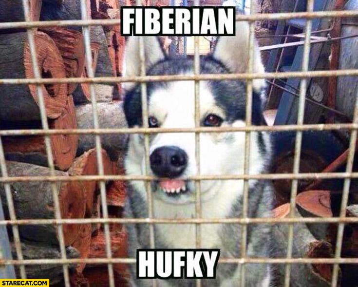 Fiberian hufky Siberian husky