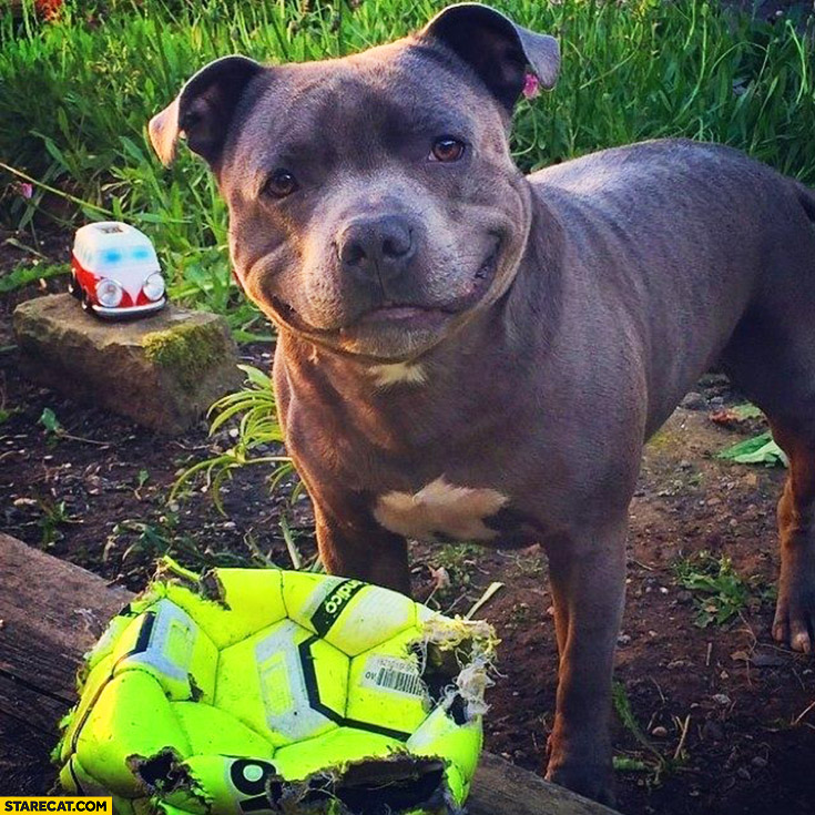 Funny happy cute pitbull with destroyed ball