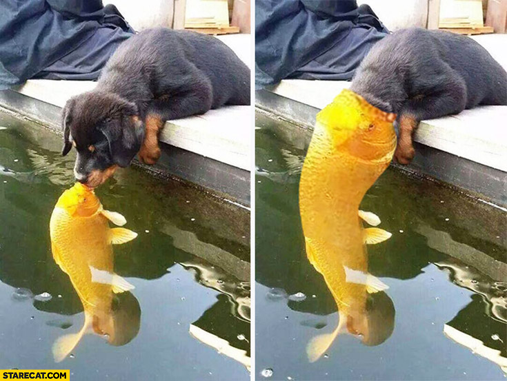 Gold fish eats a puppy dog