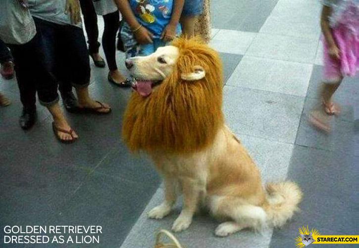 Golden Retriever dressed as a lion