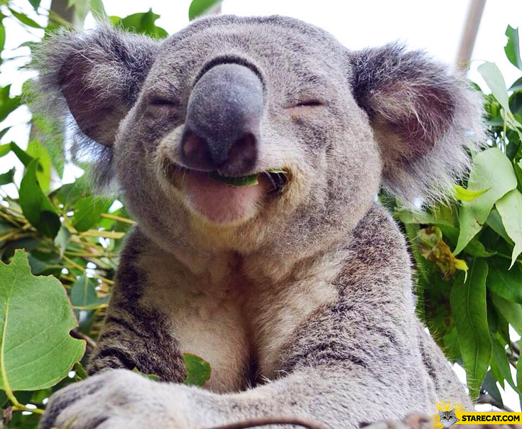 Happy koala bear