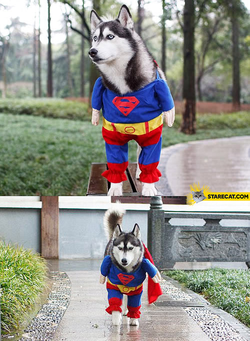 Husky dog Superman costume