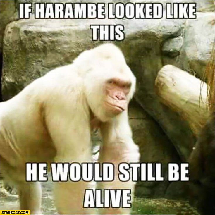 If Harambe looked like this he would be still alive gorilla