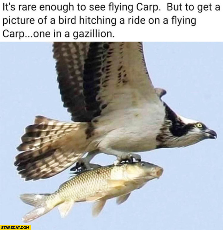 It's rare to see flying carp but it's a picture of a bird hitching a ride on a flying carp