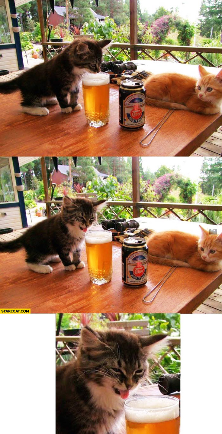 Kitten tastes beer trying