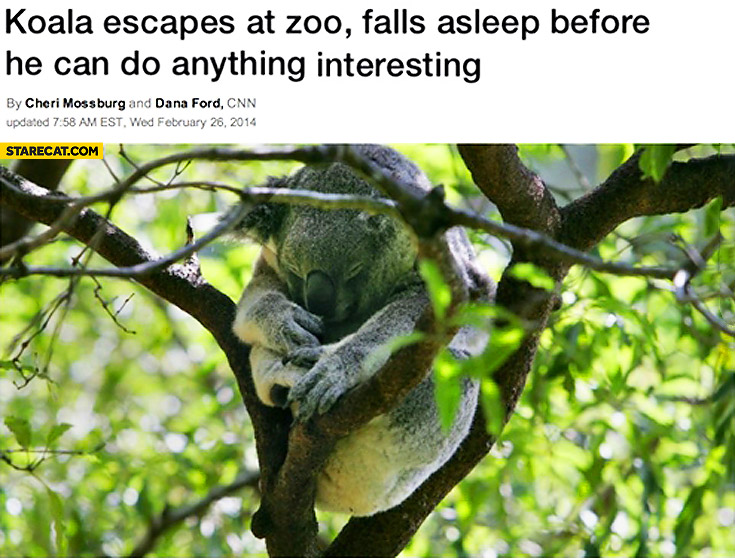 Koala escapes at zoo falls asleep before he can do anything interesting