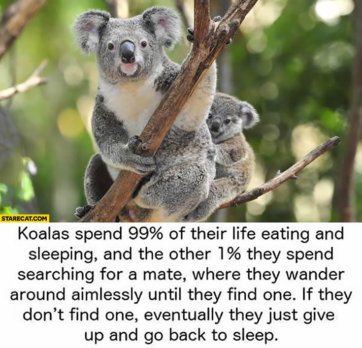 Koalas spend 99% percent of their life eating and sleeping and 1% percent searching for a mate. If they don't find one they go back to sleep