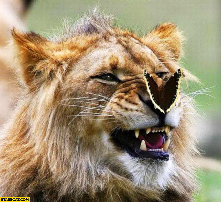 Lion with a butterfly on his nose