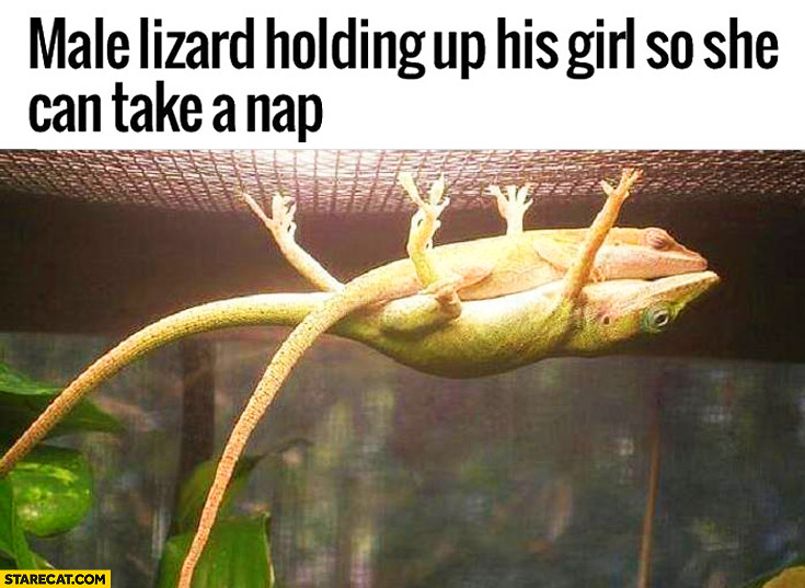 Male lizard holding up his girl so she can take a nap upside down cute