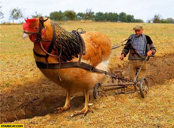 Plowing fields chicken hen