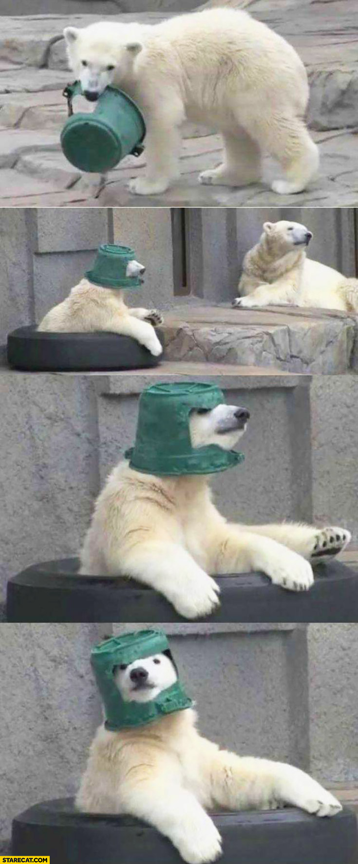 Polar bear using bucket as a helmet