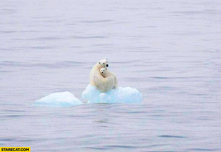 polar bears on floating ice sad picture starecat