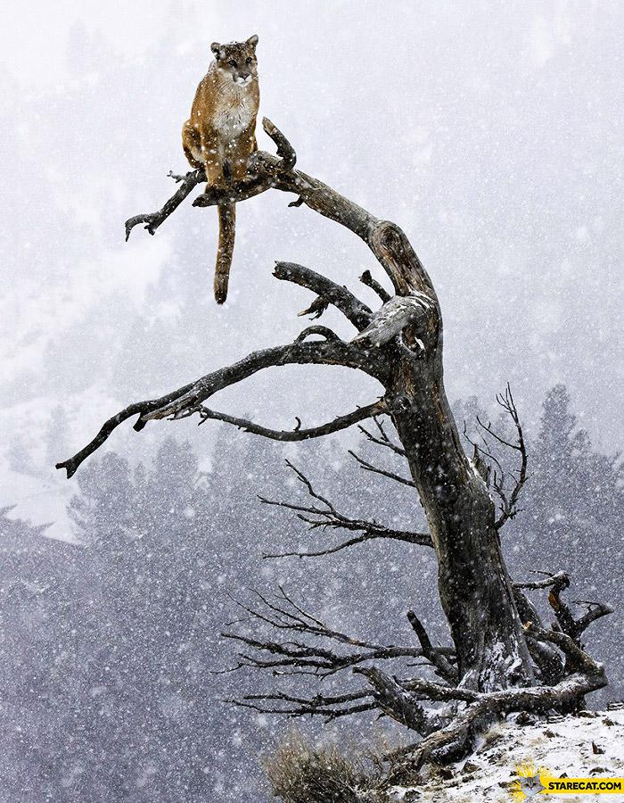 Puma on a branch