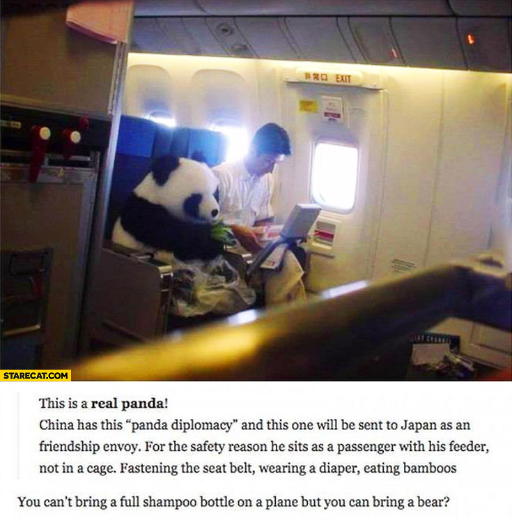 Real panda on an airplane