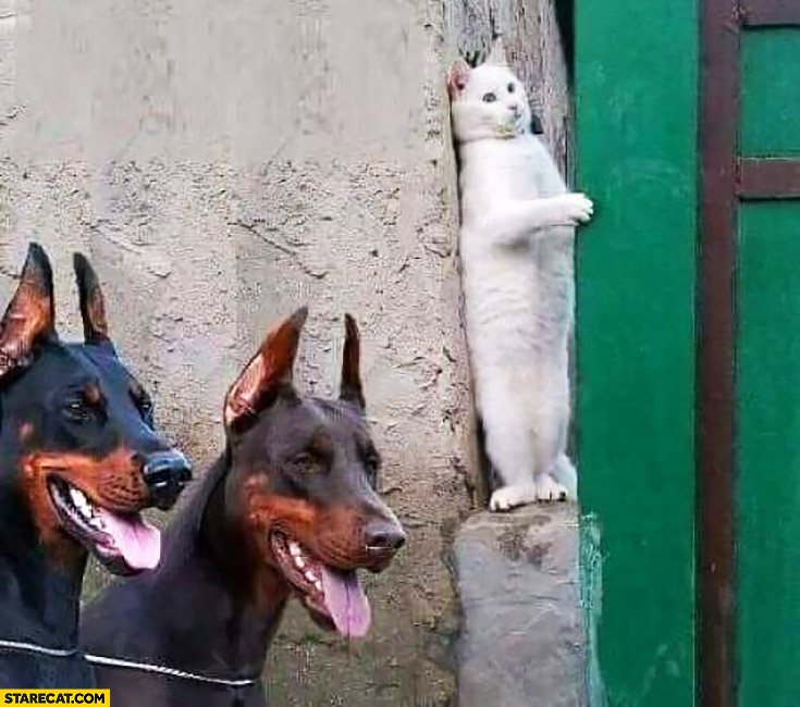 Scared stressed cat hiding 2 dogs looking for him