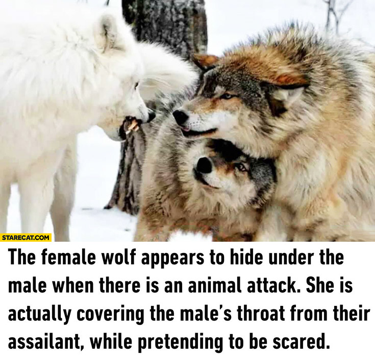 The female wolf appears to hide under the male when there is an animal attack she is actually covering the males throat from their assailant while pretending to be scared