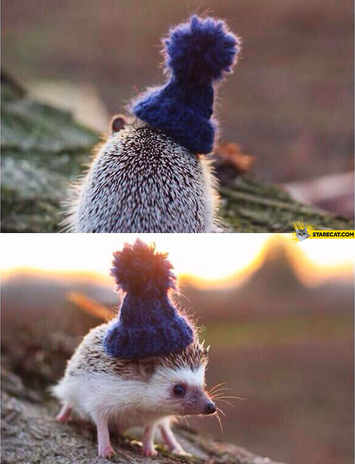 Tiny hedgehog wearing a beanie
