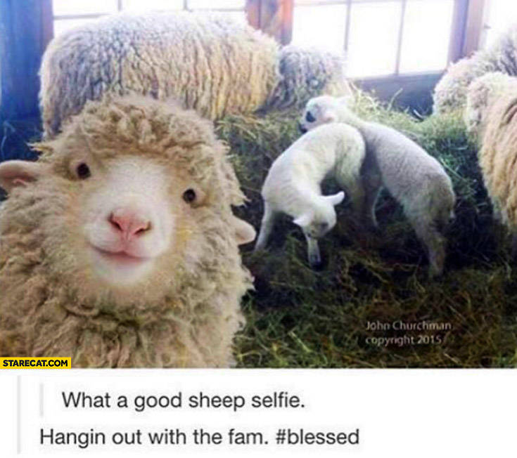 What a good sheep selfie, hanging out with the fam blessed