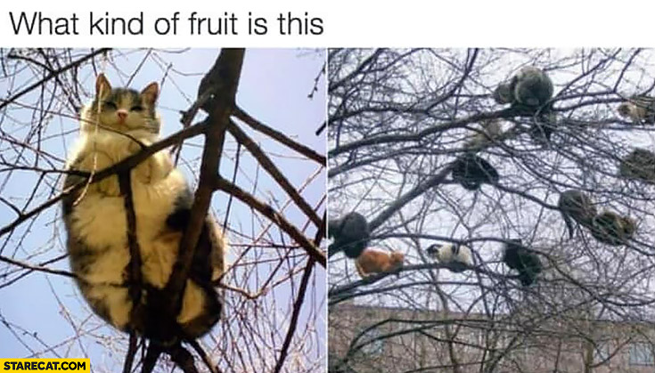 What kind of fruit is this? Cats on a tree