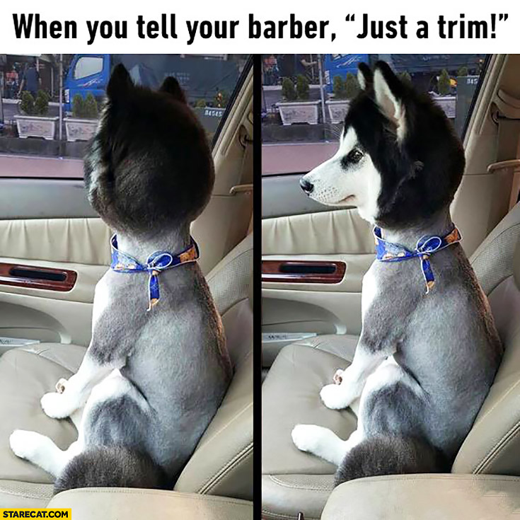 When you tell your barber just a trim. Husky dog with no hair